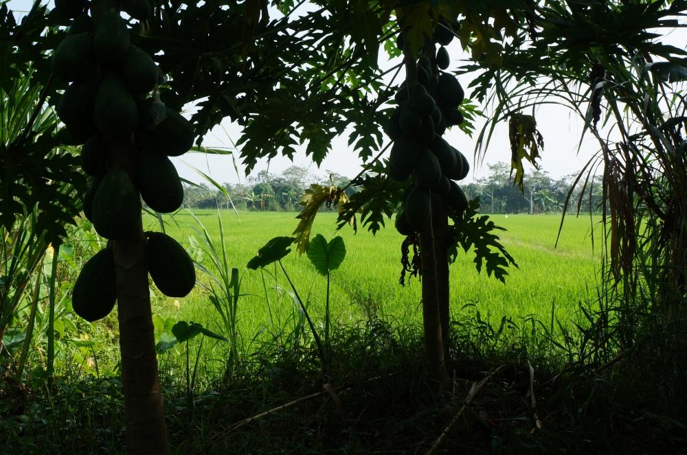 Vista de los campos de arroz caminando entre los manglares.