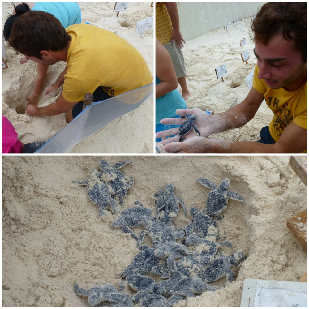 Ayudando a recoger huevos de tortuga. En el nido que nos tocó desenterrar salieron 122 tortuguitas!