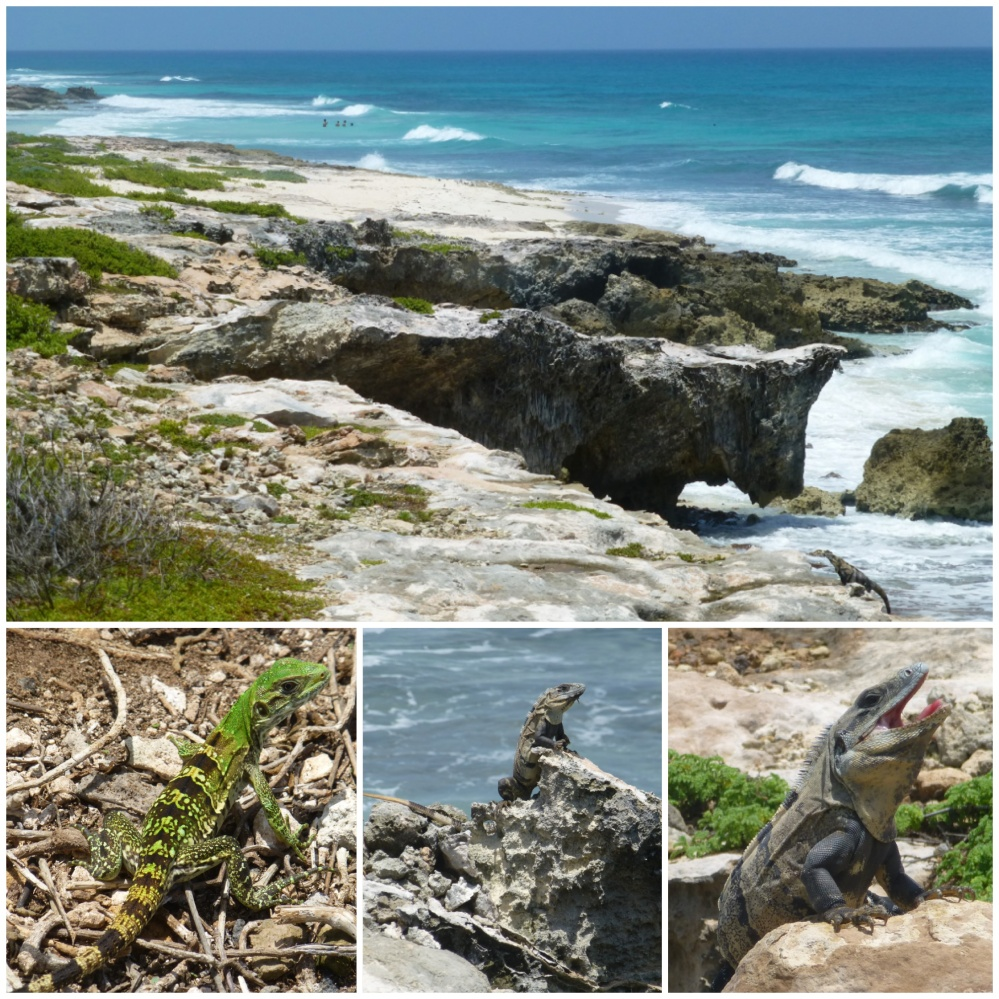 Los lagartos de todos los tipos y tamaños invaden la costa norte en toda su longitud.
