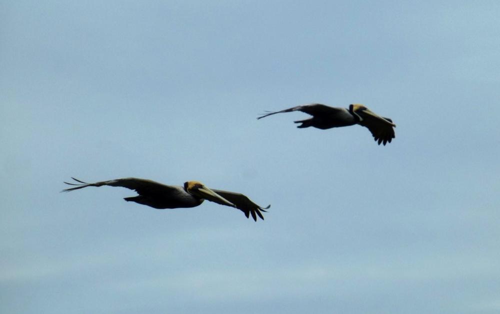 Pelícanos volando sobre el parque.